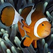 Nemo från sidan