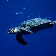 Havssköldpadda från sidan