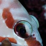 Ansikte rödvit fisk