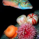 Blåstråle och anemoner