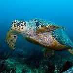 AZHavssköldpadda