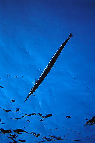 AZNålfisk-mot-ytan