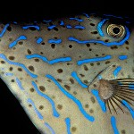 AZPorträtt-filefish