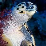 Sköldpadda från sidan