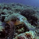 Sköldpadda framifrån