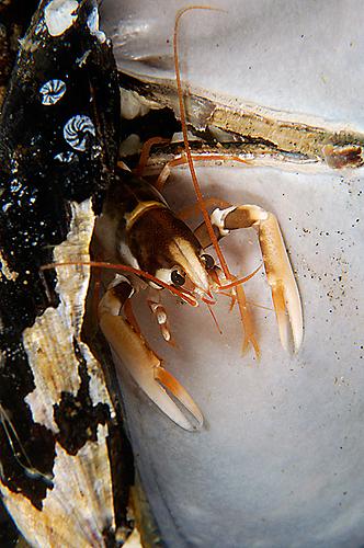 hummer i mussla