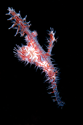 Ghost-pipefish
