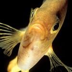 Gul frökenfisk