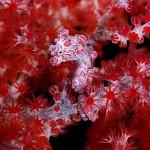 Pygme seahorse