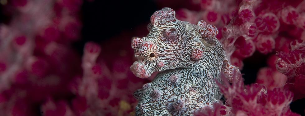 Header Pygme seahorse