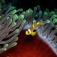 Juvenil clownfisk